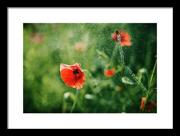Framed Print featuring the photograph Poppy Sparks by Oksana Ariskina. A red poppy flower in a sparkling bokeh green sunny abstract background. Available as mugs, posters, greeting cards, phone cases, throw pillows, framed fine art prints, metal, acrylic or canvas prints, shower curtains, duvet covers with my fine art photography online: www.oksana-ariskina.pixels.com #OksanaAriskina