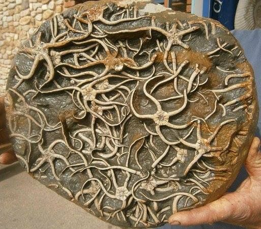 Starfish fossils, this is so cool... from Charmouth on Dorset's Jurassic Coast This starfish fossils cluster is mesmerizing! Credit: tripadvisor Geology Wonders