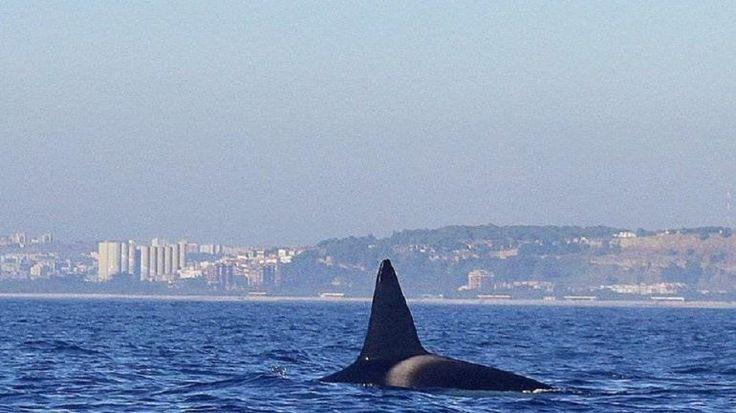 Oito orcas visitaram a Costa da Caparica. E há vídeos – Observador