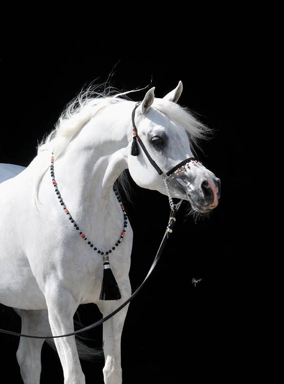 Arabian Horse Arabian Horse Show - Western Competition Egyptian Stallion Breeding