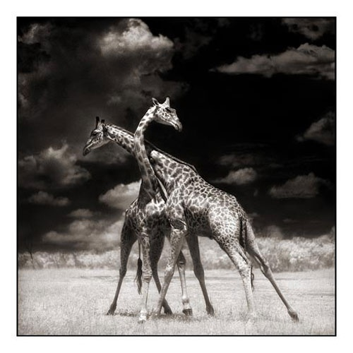Two Giraffes Battling in Sun, Masai Mara 2006Blackandwhite, White Animal, Animal Photography, Black And White, Nick Brandt, Fine Art Photography, Wildlife, Africa, Giraffes