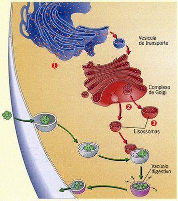 Fagocitose - Só Biologia