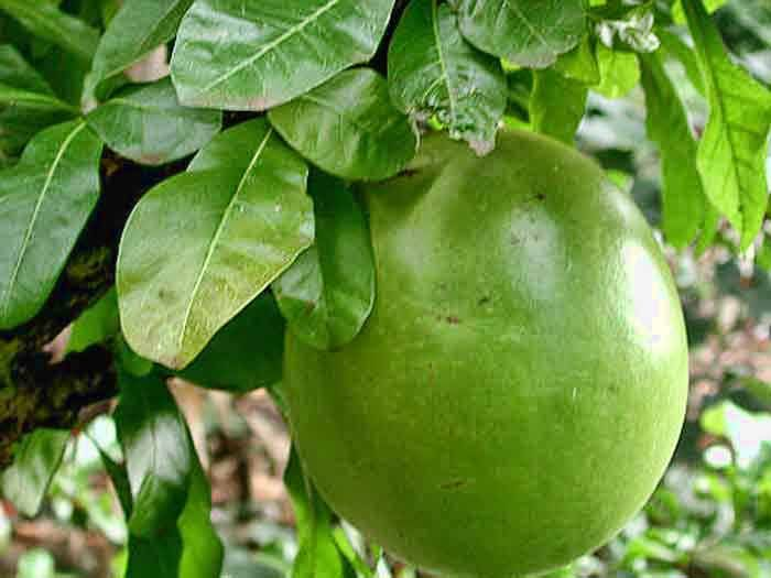 Calabash fruit could be a cure for diabetic patients?