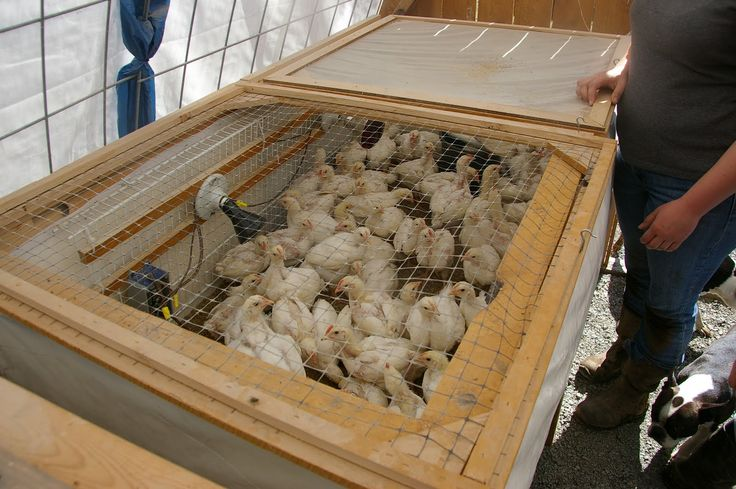 9 Best What Goes In A Chicken Brooder Images On Pinterest A Chicken Chicken Coops And Chicken
