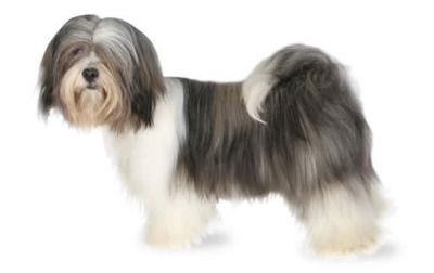 Lhasa Apso - Lively, Playful, Spirited, Devoted, Alert, Steady, Obedient, Energetic, Friendly, Fearless, Intelligent, Assertive Breed