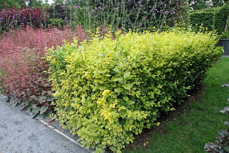 Goldliguster Sichtschutz pflanzen