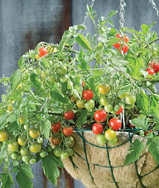 Sweetheart Of The Patio Tomato Seeds And Plants, Vegetable Gardening At  Burpee.com