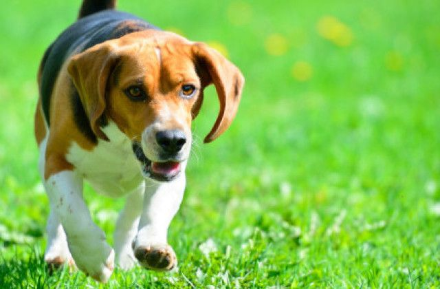 Beagle This Popular Dog Breed Lives A Long Time Beagles Have An