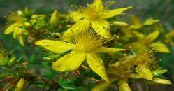 Sarı Kantaron Yağı, Kullanımı ve Faydaları - kantaron.gen.tr