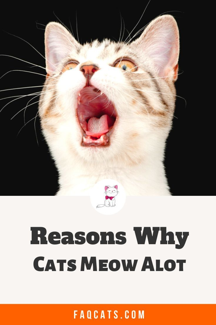 Cats Meowing In 2020 Cat Meow Meaning Cats Meow Cute Cats And Kittens