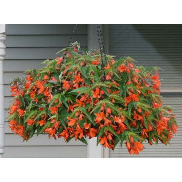 Begonia 'Encanto Orange' (Begonia boliviensis hybrid)A blaze of orange flowers adorns this new Begonia boliviensis hybrid and covers the fine-pointed foliage with its delightful blooms. A spring, summer, and fall bloomer.