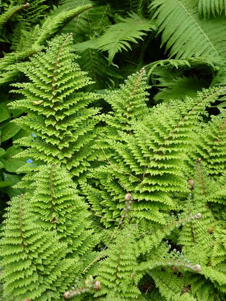 Farne Pflanzen Farne Garten Farn Pflanze Blumen Stauden
