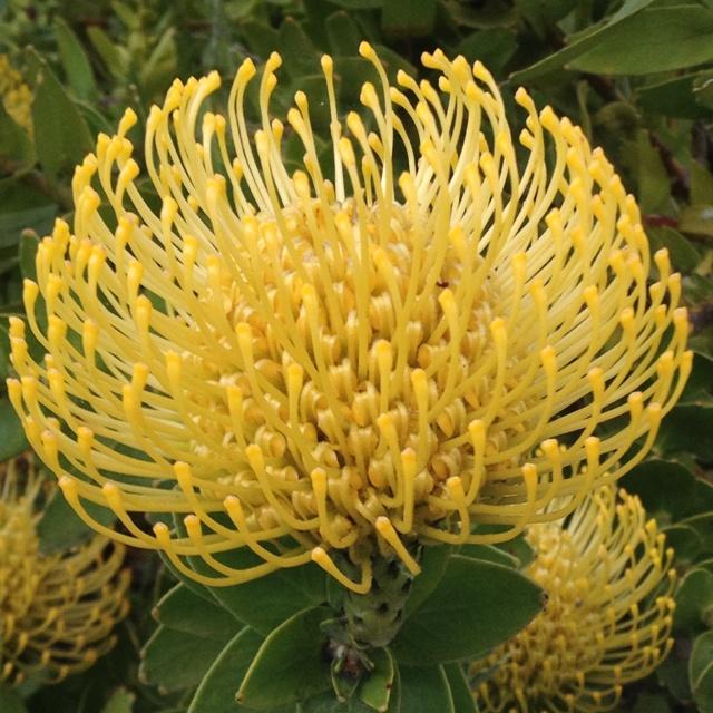 Yellow Protea flower.