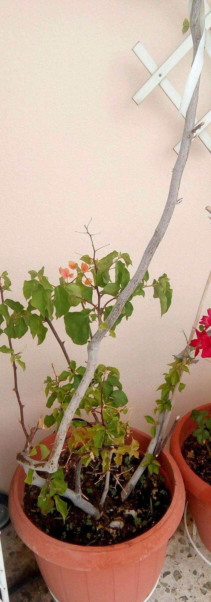 Η μπουκαμβίλια είναι Αγγειόσπερμο, δικότυλο φυτό ή βουκαμβίλια ανήκει στην τάξη καρυοφυλλώδη και στην οικογένεια των νυκταγινιδών.Βικιπαίδεια  Επιστημονική ονομασία:Bougainvillea  Κατάταξη:Γένος  Υψηλότερη κατηγορία ταξινόμησης:Νυκταγινίδες