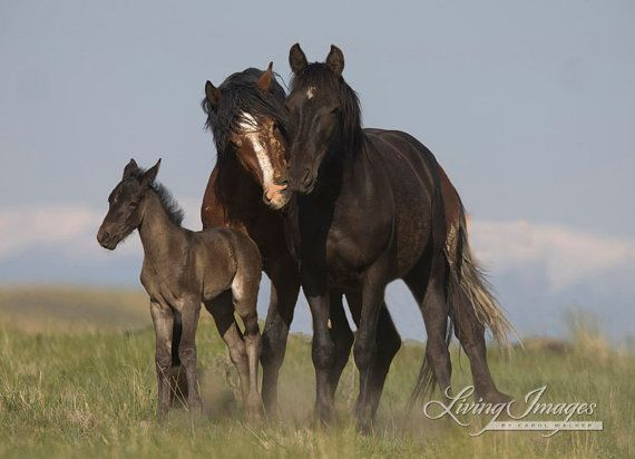 A wild stallion nuzzles his mare, close to their foal in the McCullough Peaks Herd Area in Wyoming.