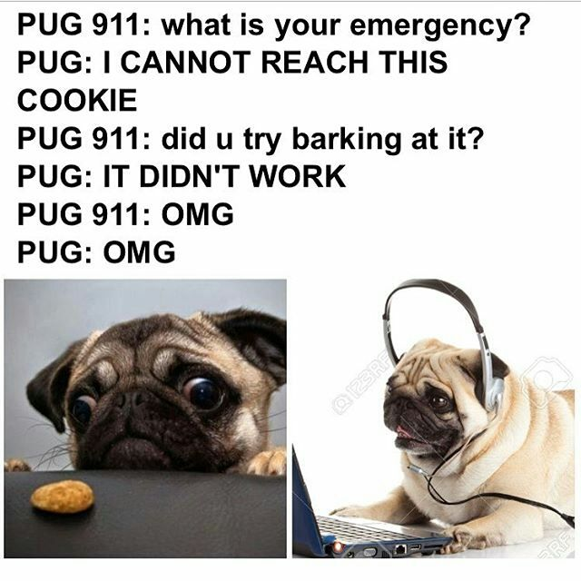 Pug ❤️                                                                                                                                                                                 More
