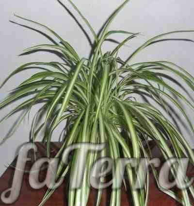Хлорофитум (Chlorophytum)
