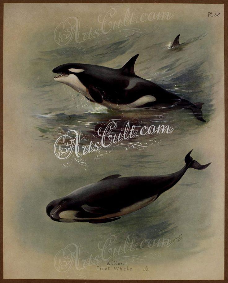 KIller, Pilot Whale      ...