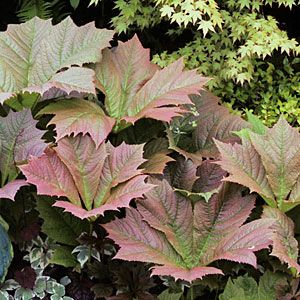 12 great foliage border plants | Rodgersia podophylla 'Rotlaub' | Sunset.com Rodgersia podophylla 'Rotlaub'  The burgundy and green cup-shaped leaves are just gorgeous. In Southern California, plant dwarf oakleaf hydrangea (H. quercifolia 'Munchkin' or 'Ruby Slippers') instead.