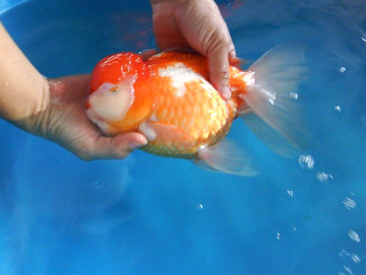 60 Best Images About Big Goldfish On Pinterest Black