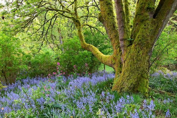 Mossy maple and brilliant bluebells welcome spring.