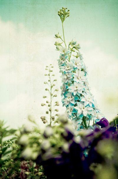 Vintage Blues - dreamy flower photograph print