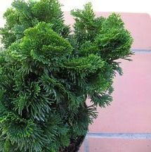 Growing Tips for the Popular Hinoki Cypress Tree