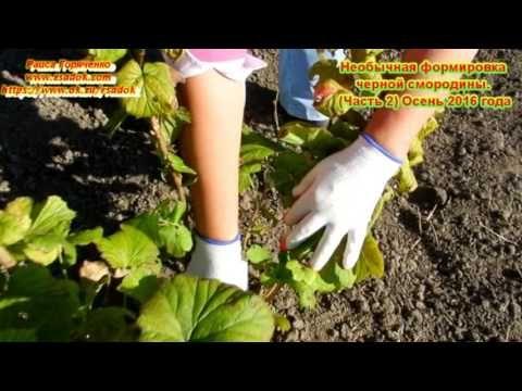 Необычное формирование кустов черной смородины + ВИДЕО: Группа Практикум садовода и огородника