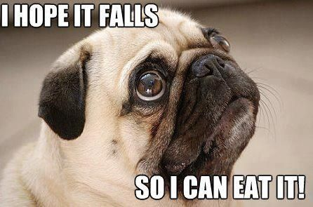 Wistful Pug Watching You Eat Lunch - Pug Meme, funny cute pugs
