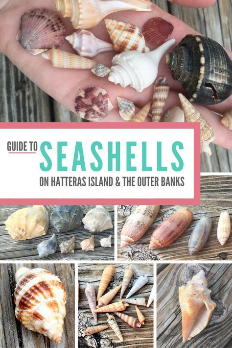 Your guide to seashells that can be found on Hatteras Island and the Outer Banks | #outerbeaches