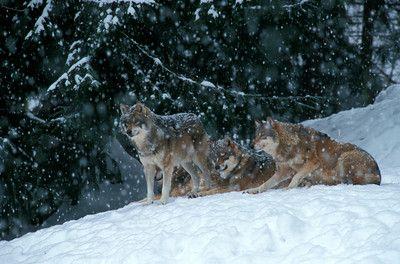 wölfe im schnee 3.tif