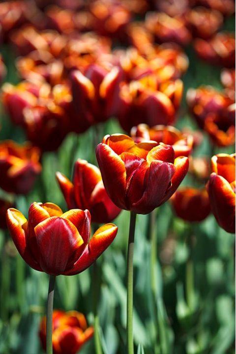 Tulip 'Abu Hassan'