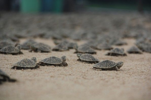 La corsa delle tartarughine,  schiusa record in Brasile » fotografie di C. Ferrara/Wildlife Conservation Society