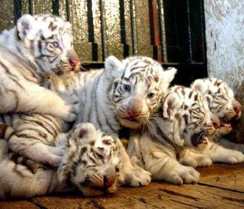 white lion and white tiger | White tiger cubs wallpaper |Funny Animal