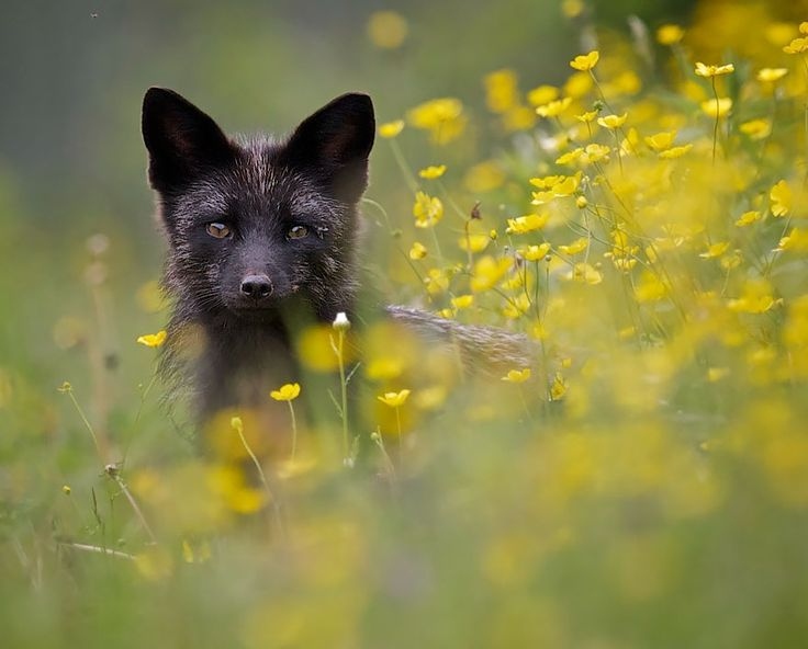 The Rare Beauty Of  Black Foxes.
