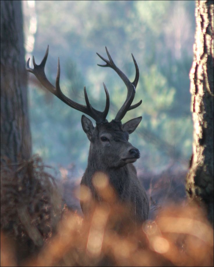 There are four species of deer in the New Forest - how many will you see at the New Forest Walking Festival (Oct 17 to Nov 1) www.newforestnpa.gov.uk/walkingfestival
