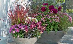 Von Pink bis Purpur reicht das Farbenspiel von Japanischem Blutgras (Imperata cylindrica 'Red Baron'), Sommeraster und Federbusch (Celosia argentea)