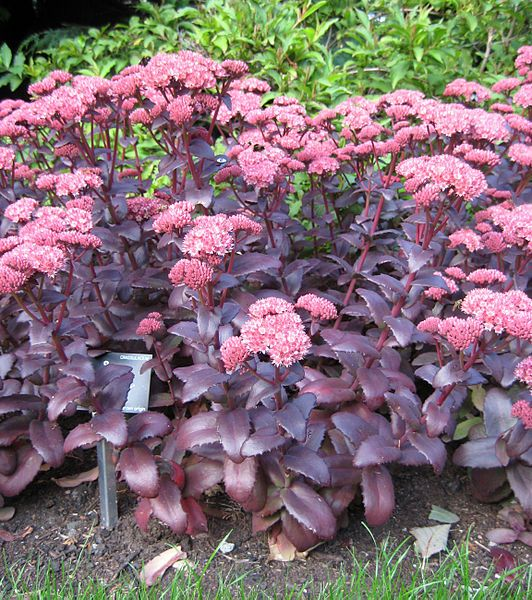 Sedum 'Purple Emperor'. Stunning = everyone notices it. Flowers from mid-summer. Provides beautiful winter structure.