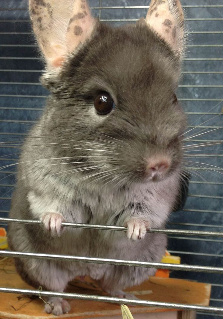 chinchilla the chinchilla Chinchillas have many characteristics that make them great pets however, they  are not suited for everyone i do not suggest them for children because they are.