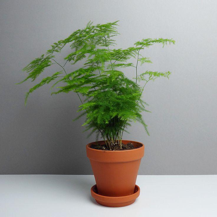 une paire de fougères en pot - pour ma sdb Grünpflanze, Zierspargel Asparagus kaufen - The Botanical Room