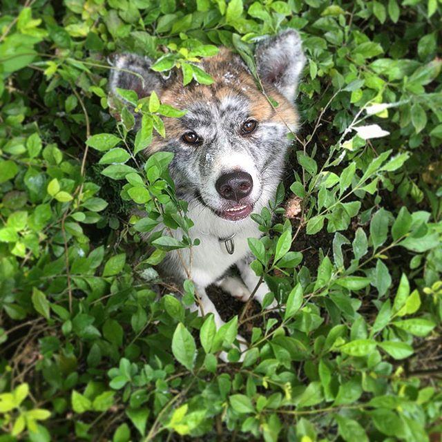Peek a boo #puppy #dog #smalldog #cutedog #puppylove #pup #cute #animal #hongkong #pet #maxidus #dogsofinstagram #spring oscarthegrouch #akita #akitainu #japaneseakita #brindle #brindleakita #akitasofinstagram