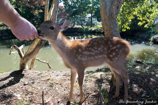 Deer at Nara Nationl Park - The Magic of the Ancient City of Nara