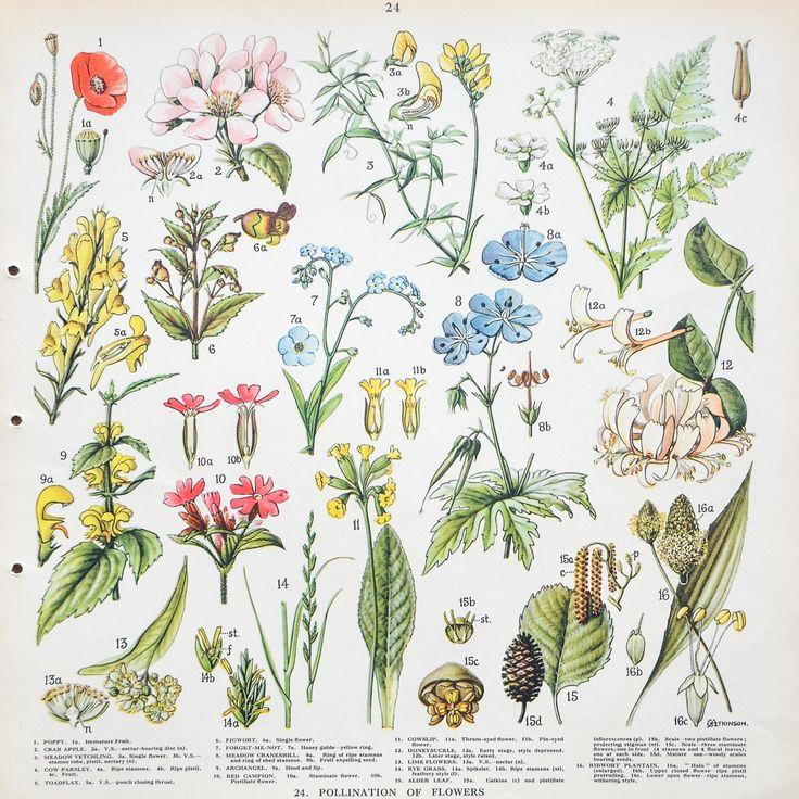 Vintage 1930's British School Poster: Pollination Of