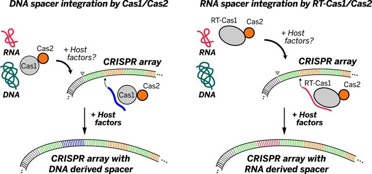 Direct CRISPR spacer acquisition from RNA by a natural reverse transcriptase–Cas1 fusion protein