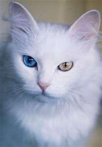 Ankara cat (Angora)