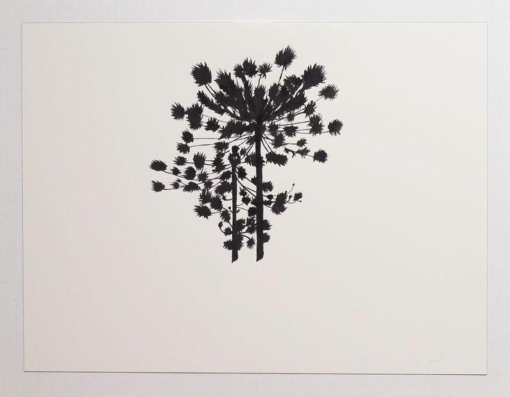 Araucaria silhouette