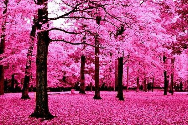 Pink Forest Infrared Photography Pink Trees Blossom