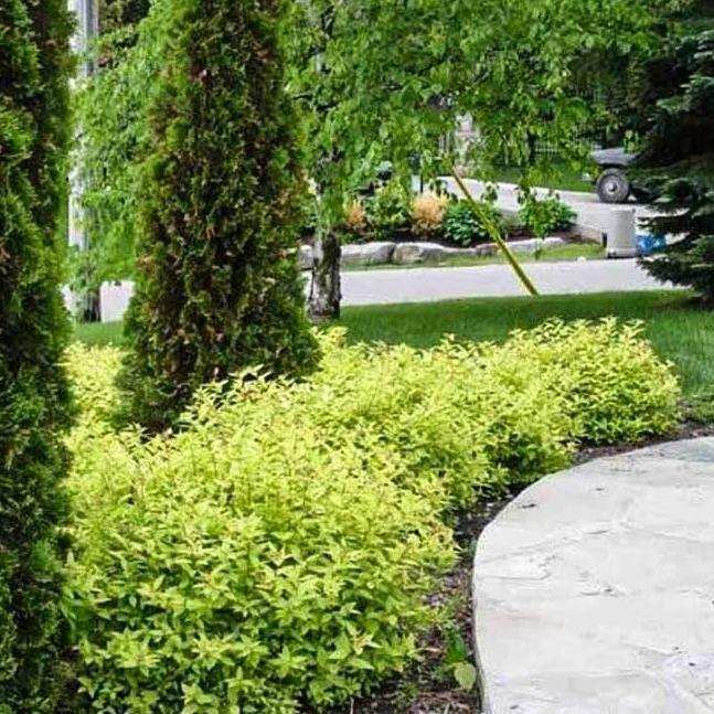 Wavy Leaf Ligustrum Privacy Landscaping Garden Shrubs Backyard Landscaping