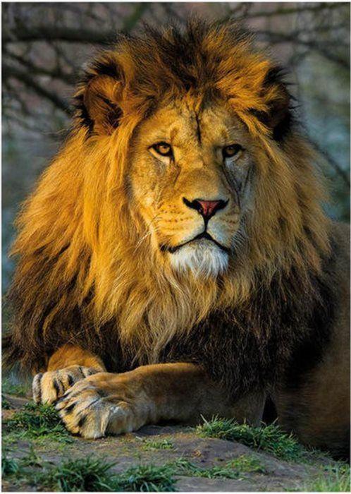 Puzzle DINO 1000 dílků - Zamyšlený lev