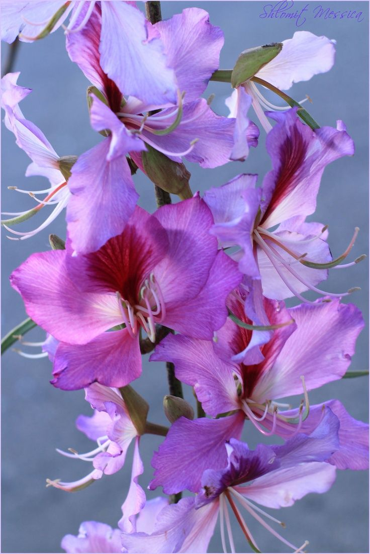 39 best bauhinia flowers images on pinterest flowers plants and
